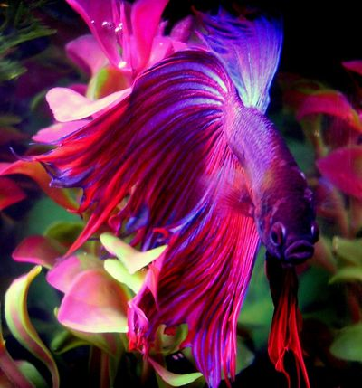 Click image for larger version  Name:Betta fresh water.jpeg Views:635 Size:46.0 KB ID:32980