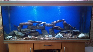 Click image for larger version  Name:120 Gallon Malawi Cichlid Tank.jpg Views:2379 Size:48.8 KB ID:36032