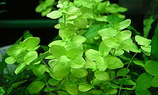 Click image for larger version  Name:bacopa.australis.tr_big.jpg Views:2739 Size:22.8 KB ID:37857