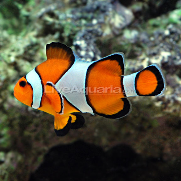 Click image for larger version  Name:lg-69560-clownfish.jpg Views:82 Size:58.5 KB ID:38112