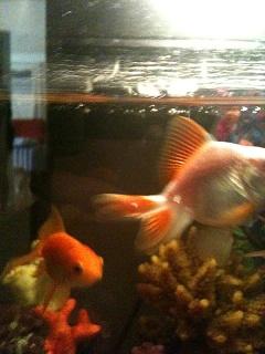 Ryukin Goldfish Has White Dot On Fin Aquarium Advice