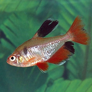 Favorite freshwater schooling fish page 2 aquarium for Freshwater schooling fish