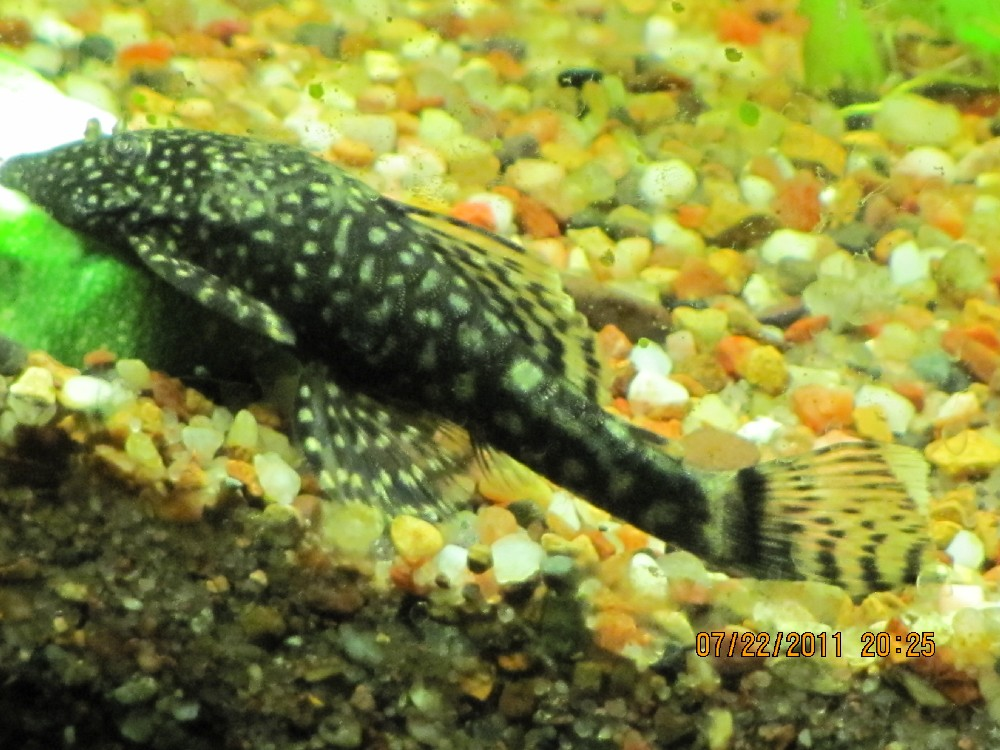 Click image for larger version  Name:pleco1.jpg Views:84 Size:180.0 KB ID:44899