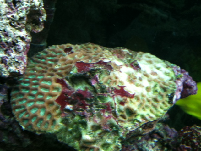 Click image for larger version  Name:sick coral.JPG Views:55 Size:124.9 KB ID:48693