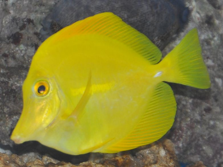 Click image for larger version  Name:Yellow Tang 14_09_11.jpg Views:55 Size:55.0 KB ID:51721