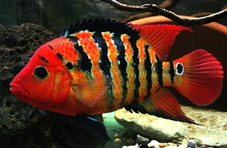 The Ten Top Most Beautiful Cichlids Aquarium Advice