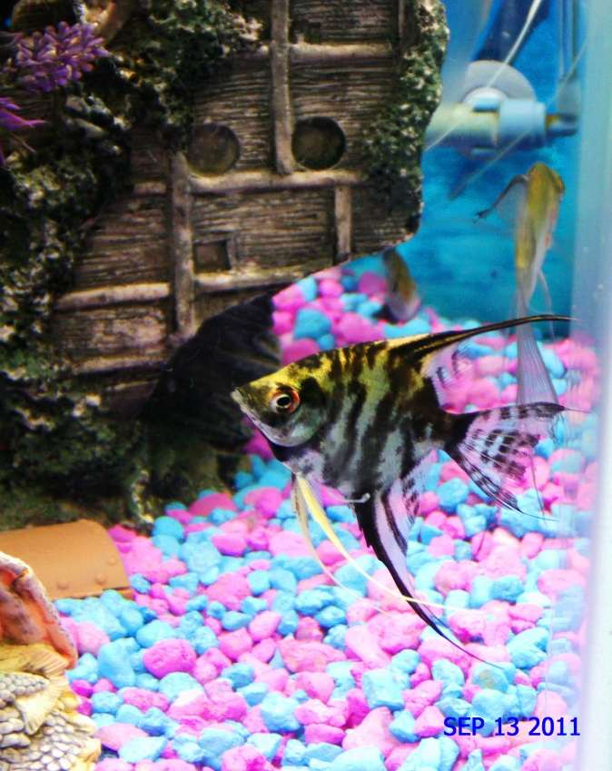 Click image for larger version  Name:Boone-Marble Angelfish 9 13 2011.jpg Views:70 Size:260.6 KB ID:51977