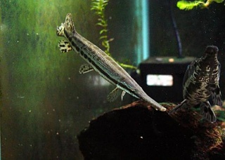 Click image for larger version  Name:1283711533_118352122_2-Alligator-Gar-Abu-Dhabi.jpg Views:131 Size:32.5 KB ID:53071