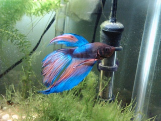 Click image for larger version  Name:Male Betta.jpg Views:1021 Size:216.2 KB ID:58456