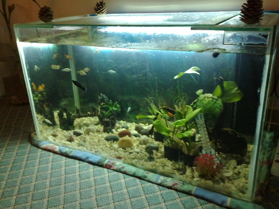 Click image for larger version  Name:molly in big tank 21102011628.jpg Views:115 Size:254.7 KB ID:59735
