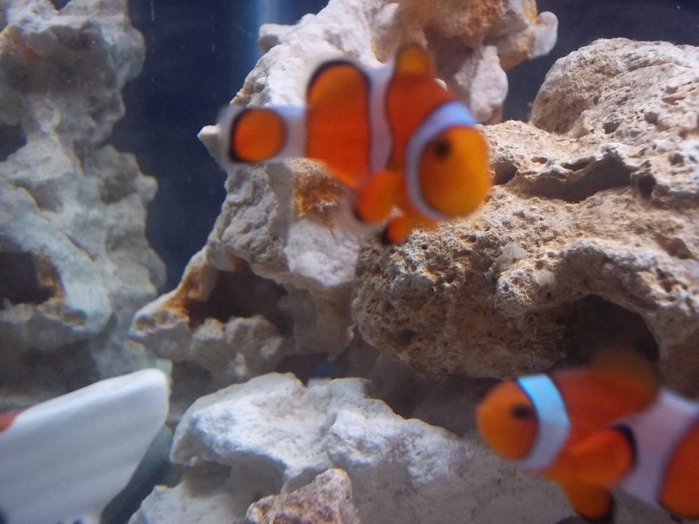Click image for larger version  Name:10 gal. clownfish pair.jpg Views:40 Size:202.9 KB ID:61755