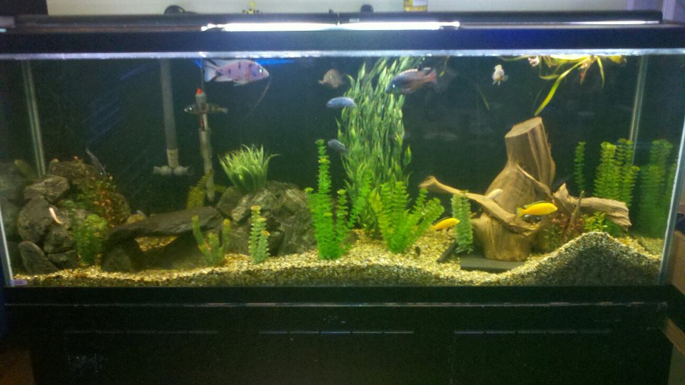 Click image for larger version  Name:Cichlid Tank.jpg Views:238 Size:89.7 KB ID:62452