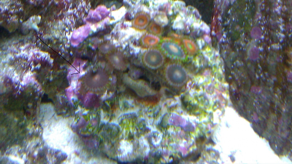 Click image for larger version  Name:Eagle Eye Zooanthids- 12-3-11.jpg Views:84 Size:228.3 KB ID:64075