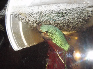 Click image for larger version  Name:betta and stuff 256.jpg Views:69 Size:252.5 KB ID:65124
