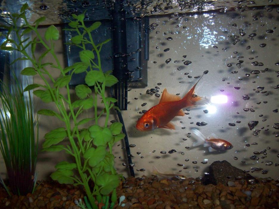 Click image for larger version  Name:goldfish 019.jpg Views:181 Size:255.2 KB ID:69406