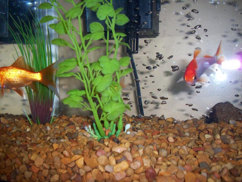Click image for larger version  Name:goldfish 015.jpg Views:175 Size:257.5 KB ID:69407