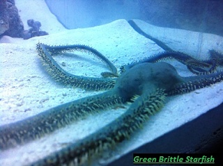 Click image for larger version  Name:Green Brittle Star 001-1.jpg Views:162 Size:53.2 KB ID:70374