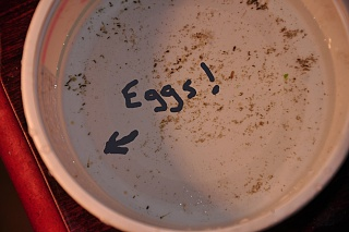 Click image for larger version  Name:eggs.jpg Views:781 Size:159.1 KB ID:73268