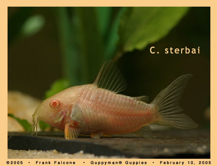 Click image for larger version  Name:c_sterbai_albino_1e_aa.jpg Views:56 Size:93.1 KB ID:781