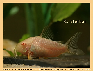 Click image for larger version  Name:c_sterbai_albino_1e_aa.jpg Views:63 Size:93.1 KB ID:781