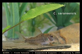 Click image for larger version  Name:c_sarareensis_1e_aa.jpg Views:141 Size:92.6 KB ID:782