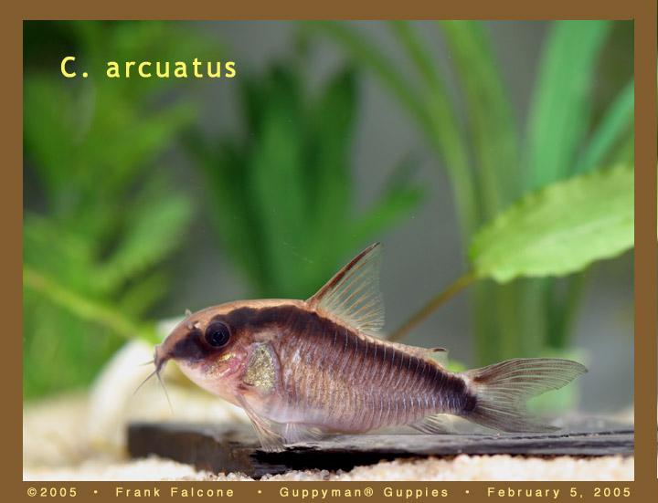 Click image for larger version  Name:c_arcuatus_1b_aa.jpg Views:60 Size:73.1 KB ID:787