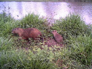 Click image for larger version  Name:capibara.jpg Views:161 Size:27.5 KB ID:859