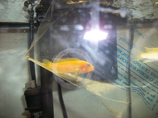 Click image for larger version  Name:New fish unidentified 2.jpg Views:114 Size:196.9 KB ID:87966