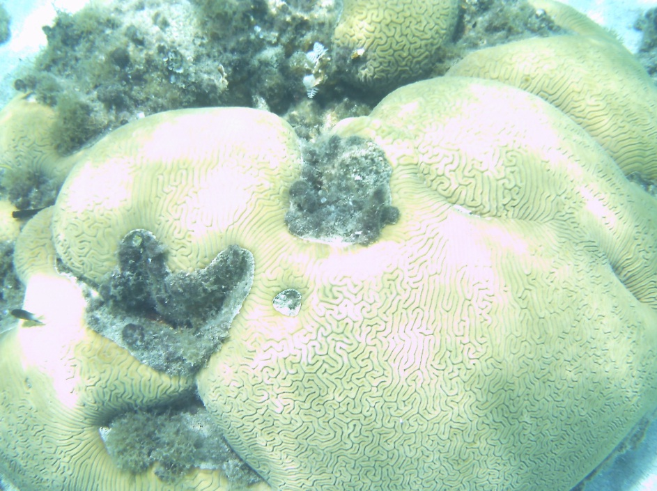 Click image for larger version  Name:braincoral.jpg Views:72 Size:243.9 KB ID:90659