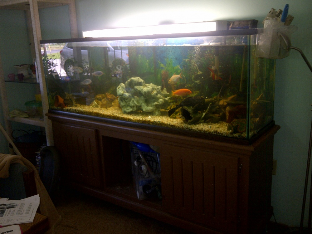 Click image for larger version  Name:150 gal tank and fish 002 (1).jpg Views:53 Size:210.4 KB ID:91239
