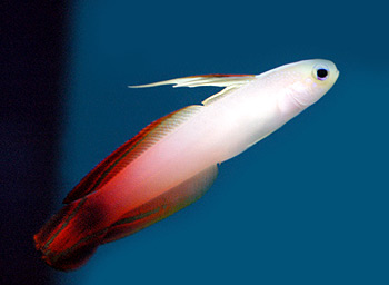 Click image for larger version  Name:firefish-goby.jpg Views:46 Size:18.4 KB ID:91653