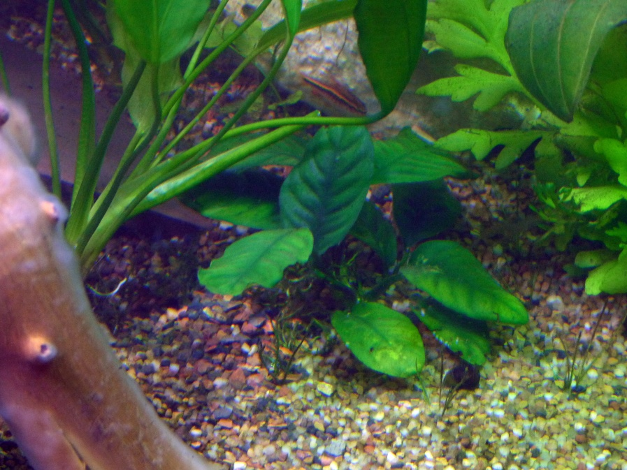 Click image for larger version  Name:Cardinal plant & Cherry Barb.jpg Views:23 Size:254.7 KB ID:96678