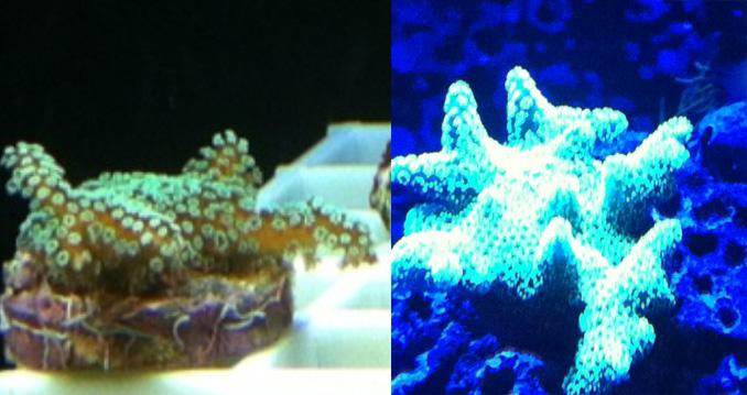 Click image for larger version  Name:birdsnest_coral_frag.jpg Views:205 Size:131.0 KB ID:97977