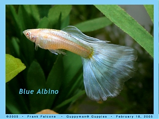 Click image for larger version  Name:blue_albino_1b_aa.jpg Views:96 Size:92.9 KB ID:999