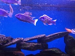 Taiwan Reef Cichlid    Acei Ngara