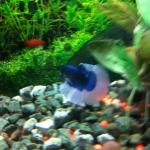 Blue and white Halfmoon Betta called Nebo but he is now deceased