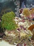 AQ Blue Tuxedo Urchin & Torch Coral