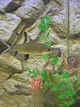 silver/bala shark