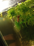 Red cherry shrimp mating