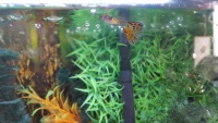 This is a group for the discussion about breeding guppies and endlers and crossing them together! that is my true passion!