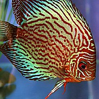 For those who love the Discus