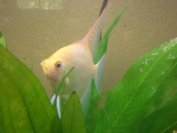 For people who love fw angelfish. Share experiences, pictures, tips, and stories.