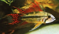 Club for anyone who owns any kind of apistogramma :)