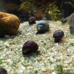 Mystery Snail Nursery