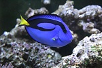 My blue tang - about 3.5 to 4 inches long.