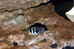 This is one of the prospective breeding caves that my convict is inspecting.  He's just keeping his options open.