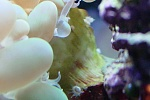 Thingy on Bubble Coral