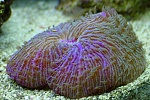 Fungia, short tentacled plate coral