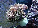 Torch Coral, Euphyllia glabrescens
