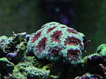 Acanthastrea Lordhowensis - new purchase 11/13/07